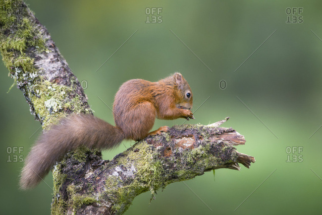 Eating Eurasian red squirrel on tree trunk