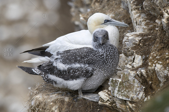 Scotland- Northern gannet with chick