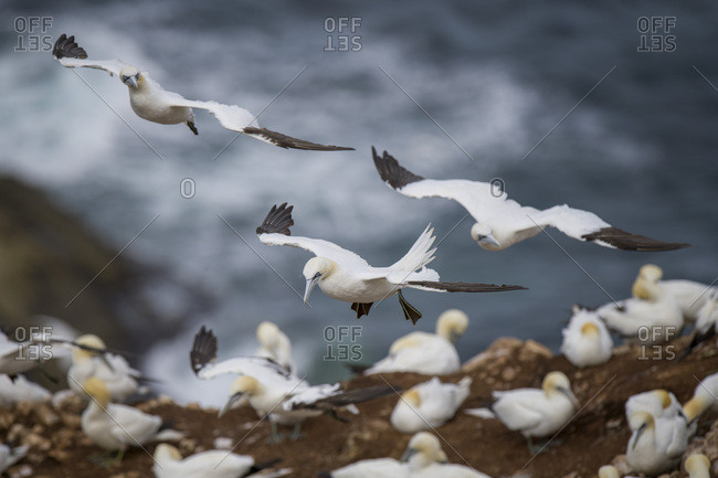 Scotland- flying Northern gannets