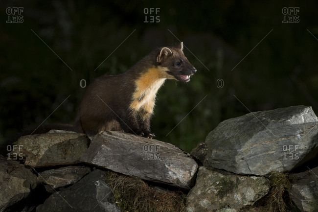 Portrait of pine marten sitting on stones at night