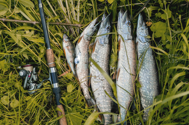 High angle view of caught fish and fishing rod on grassy field
