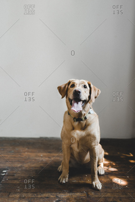 Portrait of dog sitting on hardwood floor against wall at home