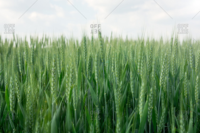 Land of green wheat cultivated in summer