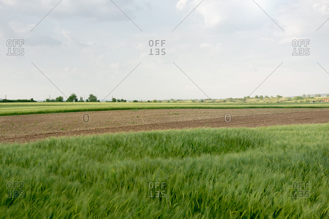 Field of wheat grown and prepared for plowing and other agriculture