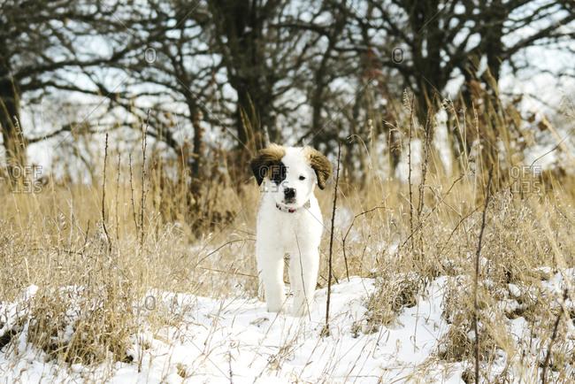 A Saint Bernard puppy outside in winter