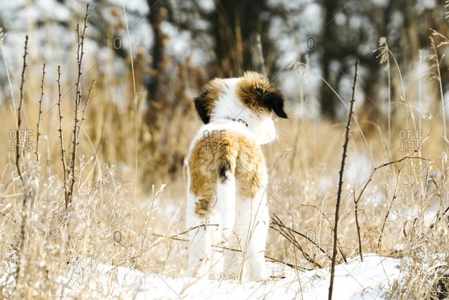 Rear view of a Saint Bernard puppy standing in a snowy field