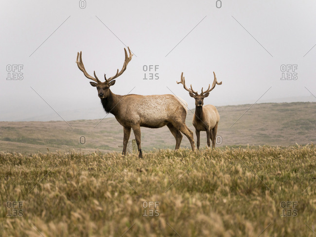 Portrait of full length of elk standing on field against clear sky
