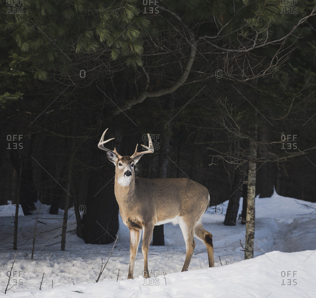Deer standing on snow covered field in forest