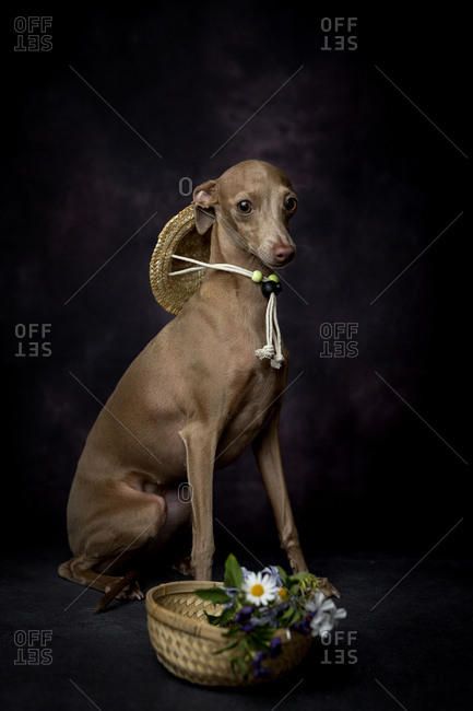 Portrait of Italian Greyhound with flowers in basket sitting against black background