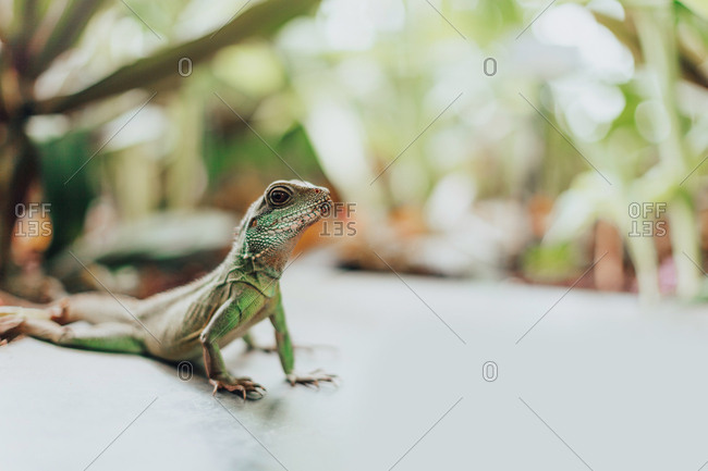 Close up of chinese water dragon lizard shot in natural light