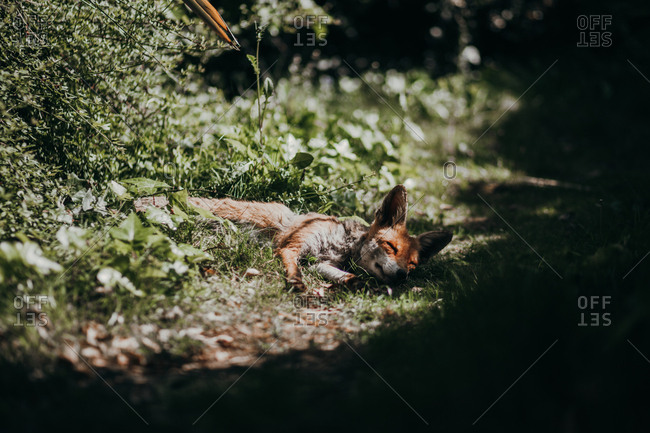 Red fox sleeping on the grass in nature