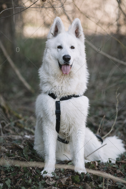 Pastor Suizo. Beautiful dog in the forest.
