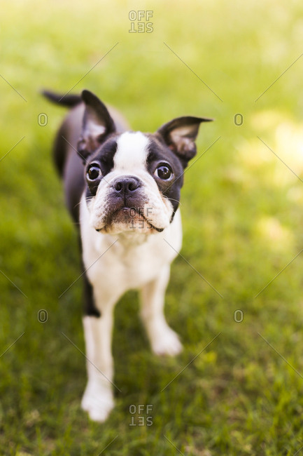 Boston Terrier puppy on the grass.