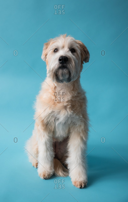 Wheaten terrier dog sitting on blue backdrop looking forward.