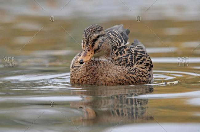 Close-up of mallard duck (anas platyrhynchos) swimming in lake