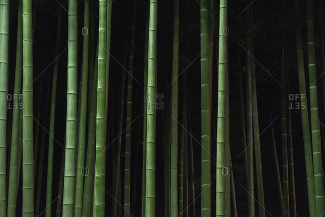 Bamboo trees growing in forest at night
