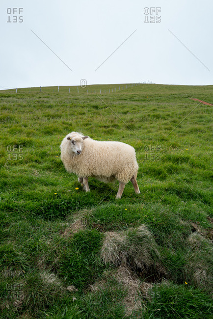 Furry Icelandic sheep grazing on a green hillside