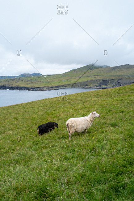 Furry Icelandic sheep and goat grazing on a green hillside