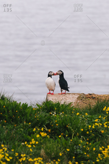 Atlantic puffins (Fratercula arctica) appearing to kiss on an oceanside rock