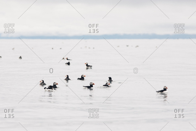 Flock of Atlantic puffins (Fratercula arctica) swimming in the ocean