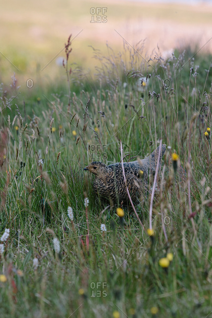 A speckled brown bird walking through field of tall grass and wildflowers