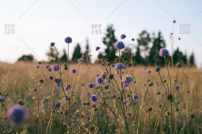 Devil's-bit scabious flowers growing in a field