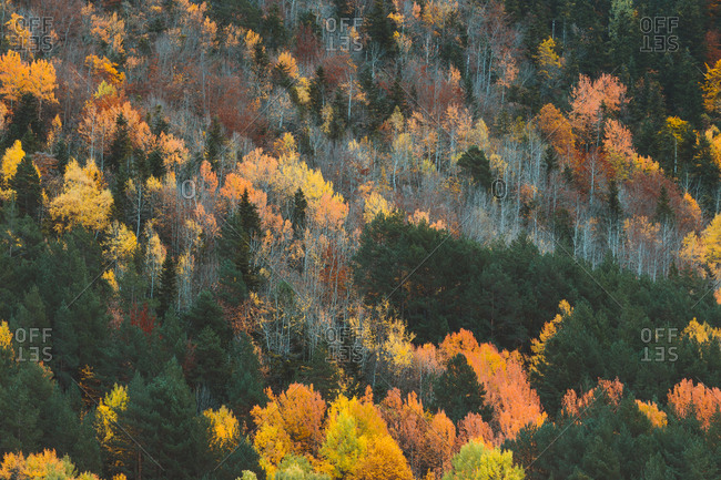 Colorful forest during autumn in Pyrenees, Aran Valley in Spain