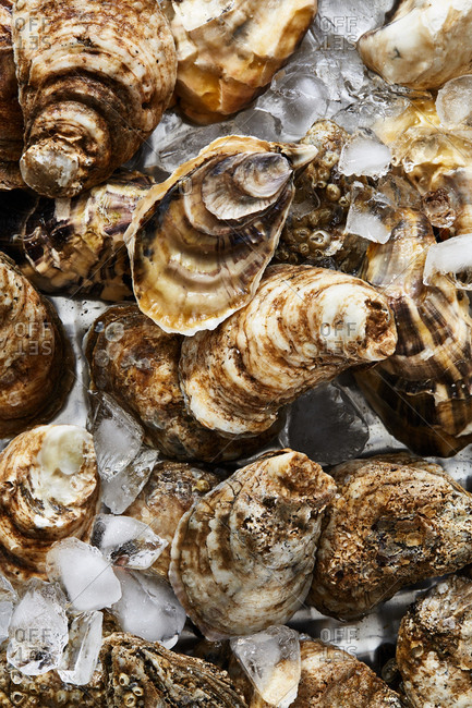 Oysters in shells on ice