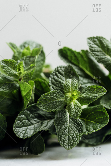Close up of green leaves of a mint plant