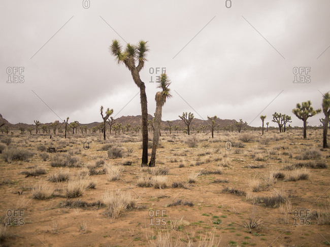 A cluster of Joshua Trees scattered throughout the landscape.