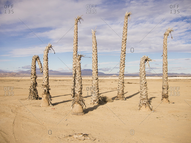 A cluster of dead palm trees stand in the parched desert.