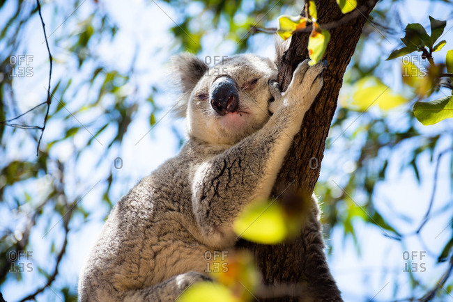 Adult Koala sleeping on a tree branch in Magnetic Island