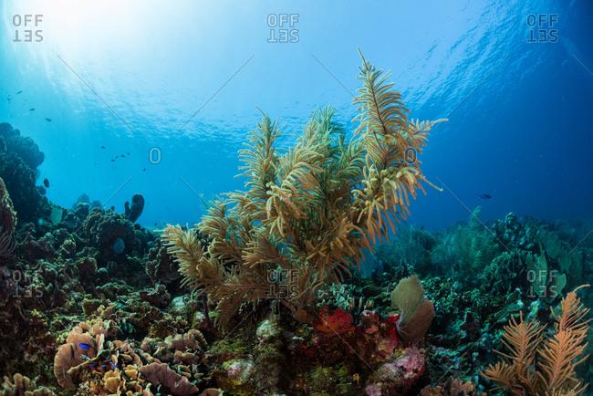 Underwater view of coral reef in Utila, Honduras