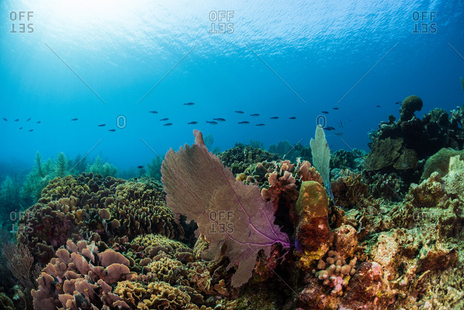 Coral Reef in Utila, Honduras.  Reefscape featuring fan coral & fish