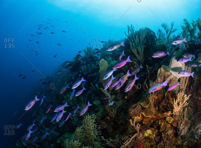 School of bar jack fish underwater in the coral reef,  Utila, Honduras
