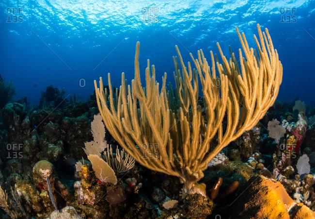 Bushy gorgonian soft coral in Utila, Honduras