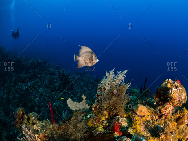French Angelfish & scuba diver swimming on the coral reef in Utila