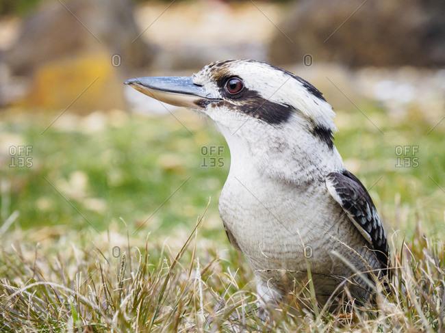 Kookaburra in grass
