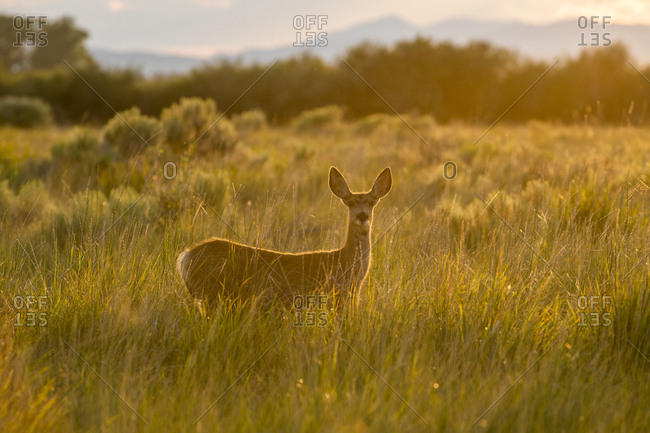 Doe in field at sunset in Picabo, Idaho, USA