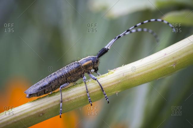 Females of the timberman beetle while feeding, monochamus galloprovincialis, baker's vaulting horse, medium close-up,