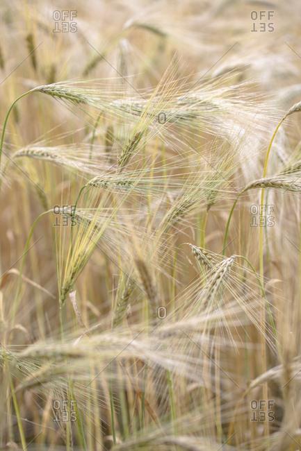 Ears of the cultural barley, hordeum vulgare l. subsp. vulgare,
