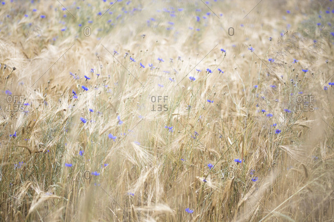 Blossoming cornflowers in a grain-field, centaurea cyanus, zyane,