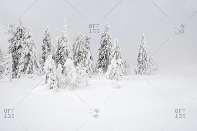 Germany, saxony-anhalt, harz national park, spruces with snow, fog, deeply snow-covered white scenery in winter, wilderness