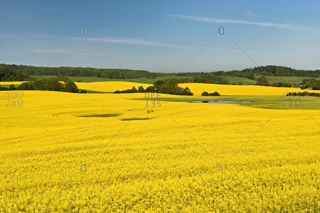 Blossoming rape field, original cultivated landscape with ponds and copses, biospherenreservat schorfheide-chorin, uckermark, brandenburg, germany