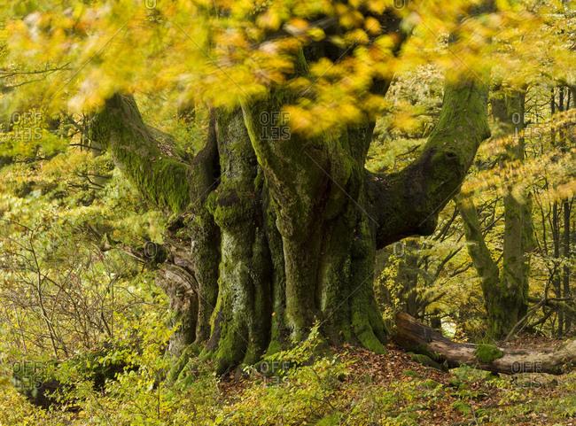 Germany, bavaria, Rhon biosphere reserve, unesco biosphere reserve, schwarze berge naturschutzgebiet (nature reserve), hutebuche (beech) \'riesenbuche von oberbach\' in the autumn foliage