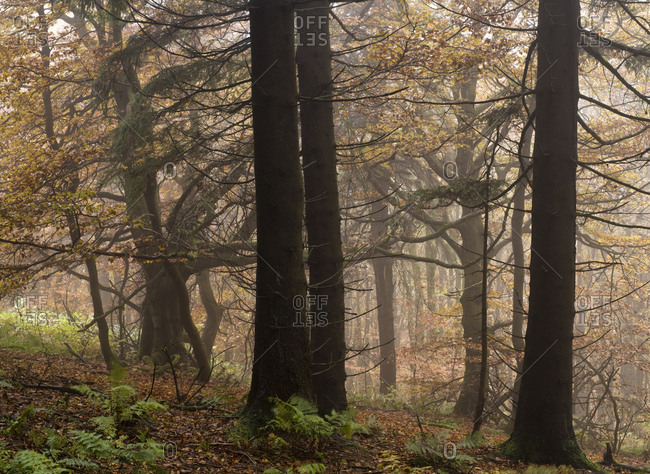 Germany, bavaria, Rhon biosphere reserve, unesco biosphere reserve, nature reserve, knobby mountain mixed forest on the himmeldunkberg in the autumn fog, spruces and beeches