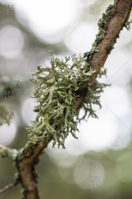 Lichens on branch in scandinavia