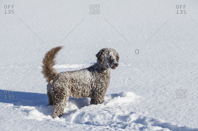A brown royal poodle plays in the snow
