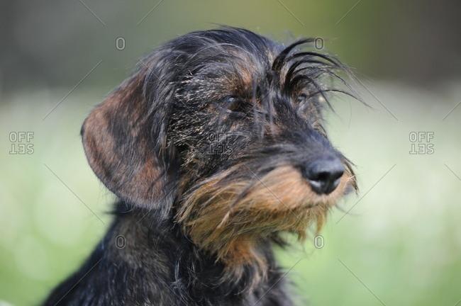Wire-haired dachshund in the garden, carefully, portrait, half tread