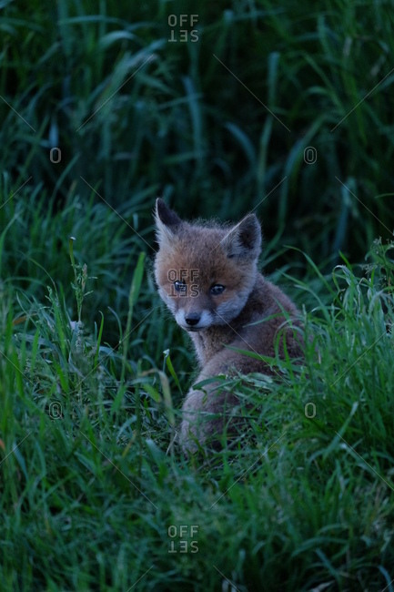 Young fox in a meadow, view in the camera